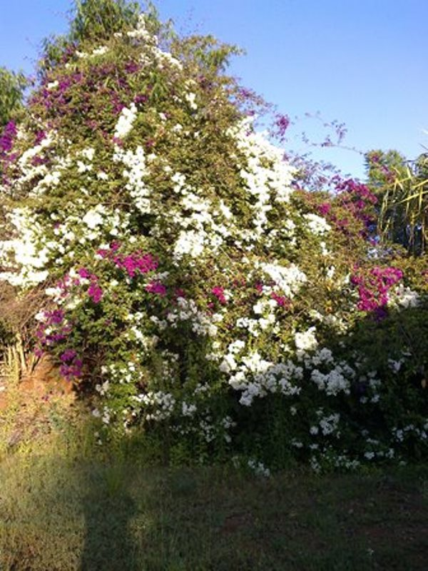 Flowers growing in David Maillu's Compound in Makueni, Eastern Kenya