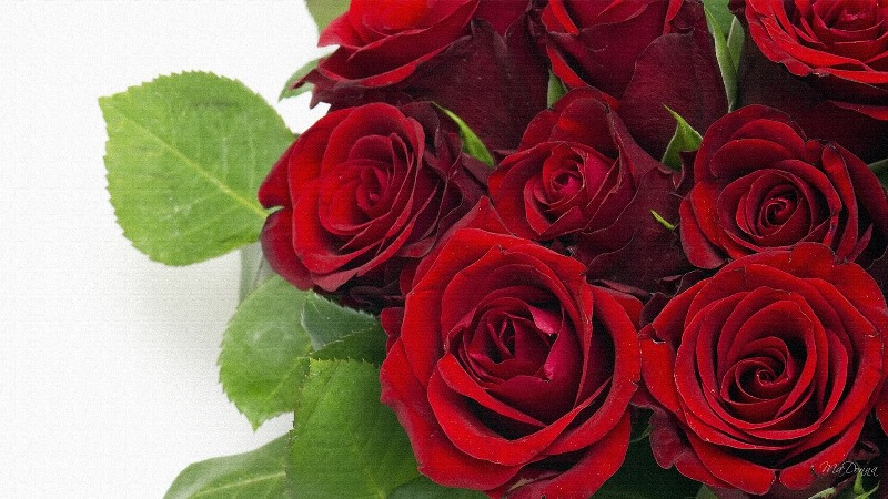 Red Roses for celebrating 'love' in modern Africa