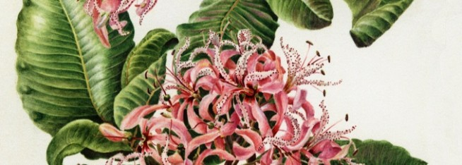 Joy Adamson's Botanical painting