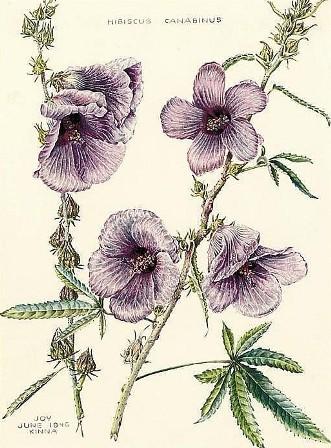 hibiscus canabinus painting by joy adamson