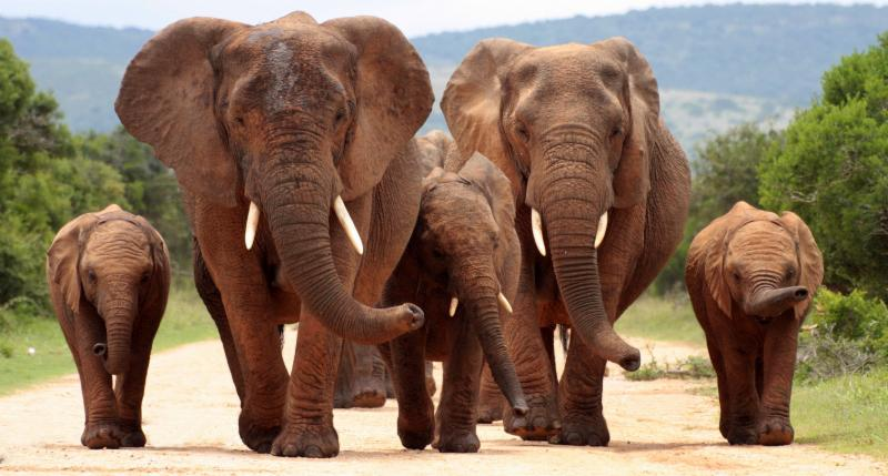 Elephants among the wildlife that attracts tourists to Kenya