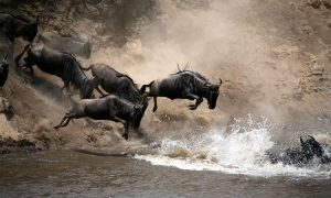 Wildebeeste Migration in the Serengeti-Mara game reserve